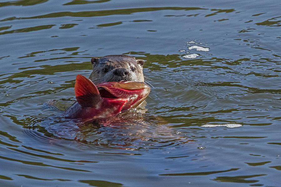 Northern River Otter Photograph - Gone Fishin by Sandy Sisti