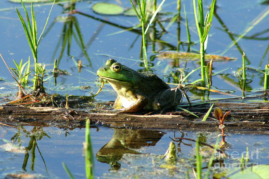 Goodwin Forest Frog Reflections  Photograph