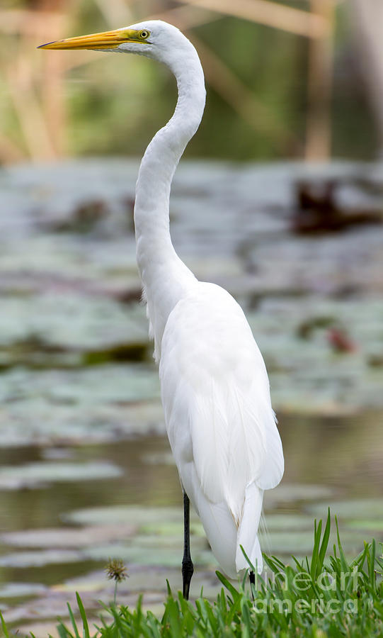 Gorgeous N Tall Great White Egret Photograph  - Gorgeous N Tall Great White Egret Fine Art Print