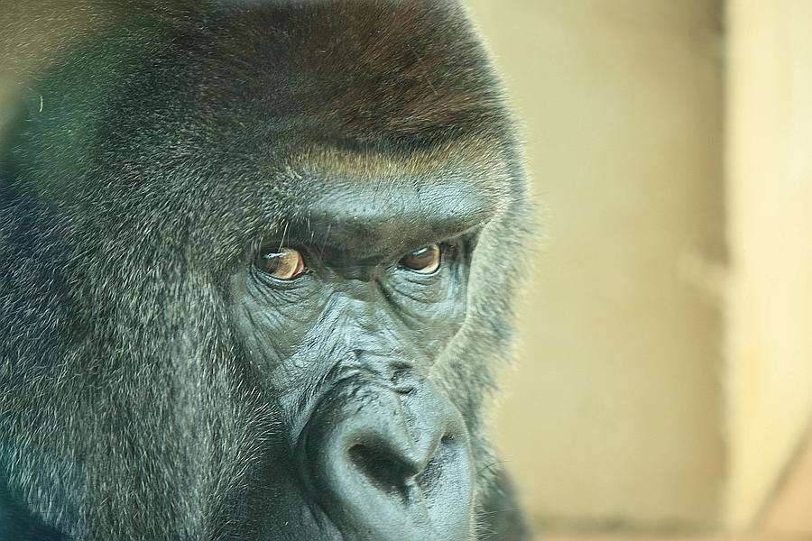 Gorilla Look Animal Eye Photograph - Gorillas Look by Adnan Elkamash