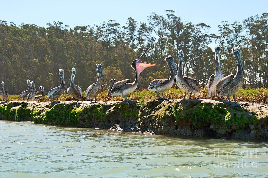 Brown Photograph - Gossip - Group Of Brown Pelican Pelecanus Occidentalis On The Elkhorn Slough. by Jamie Pham
