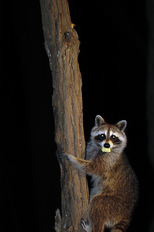 Raccoon Photograph - Gotcha The Cornbread Bandit by Randall Branham