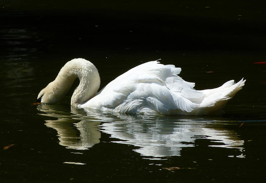 Graceful Swan Curves Photograph  - Graceful Swan Curves Fine Art Print
