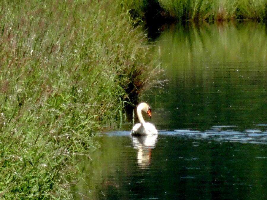 Steigerwald  National Wildlife Refuge Photograph - Graceful Swan by Lizbeth Bostrom