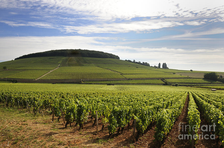 Grand Cru And Premier Cru Vineyards Of Aloxe Corton. Cote De Beaune. Burgundy. Photograph  - Grand Cru And Premier Cru Vineyards Of Aloxe Corton. Cote De Beaune. Burgundy. Fine Art Print