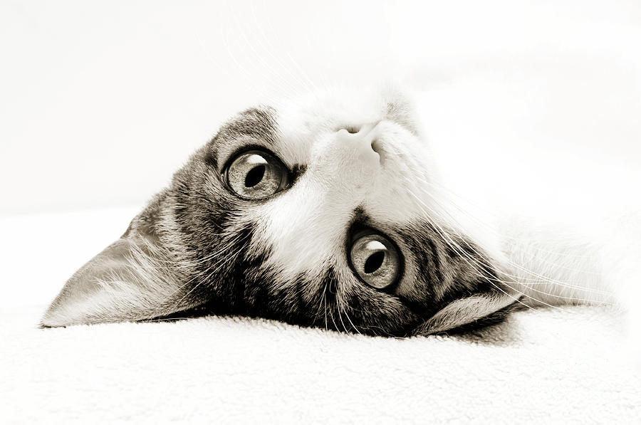 Grand Kitty Cuteness Bw Photograph  - Grand Kitty Cuteness Bw Fine Art Print