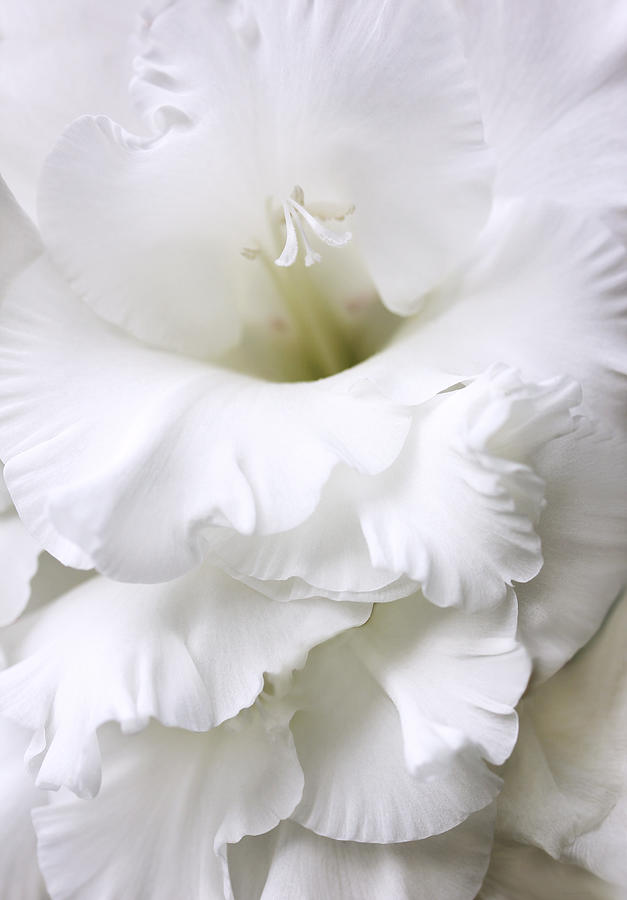 Grandiose Ivory Gladiola Flower Photograph