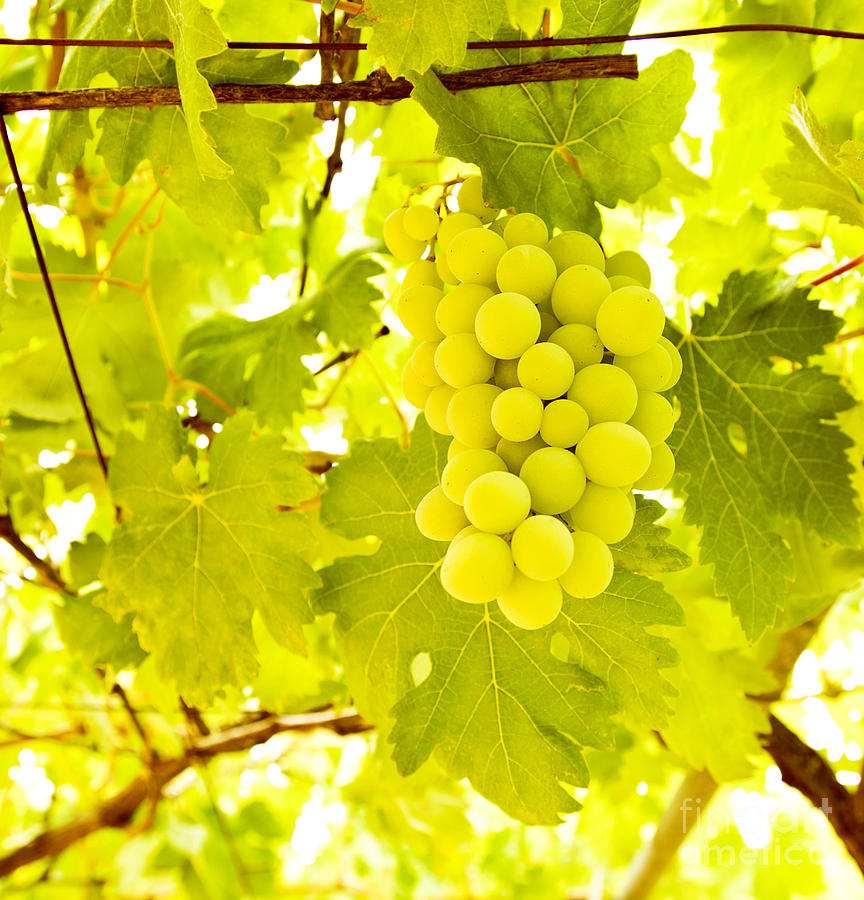 Grape Branch Photograph