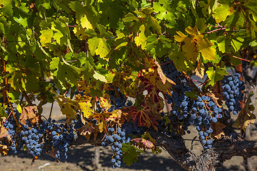 Grape Harvest Photograph