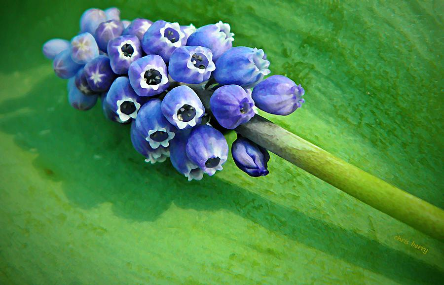 Grape Hyacinth Spike  Photograph
