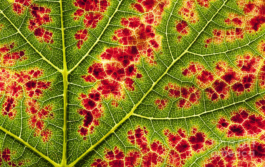 Grape Leaf Texture Photograph  - Grape Leaf Texture Fine Art Print