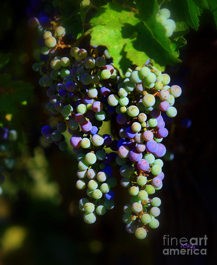 Grape Pre-vino Photograph  - Grape Pre-vino Fine Art Print