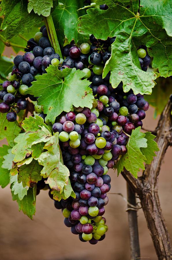 Wine Photograph - Grape Veraison by Swift Family