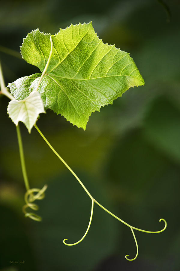 Grape Vine Photograph