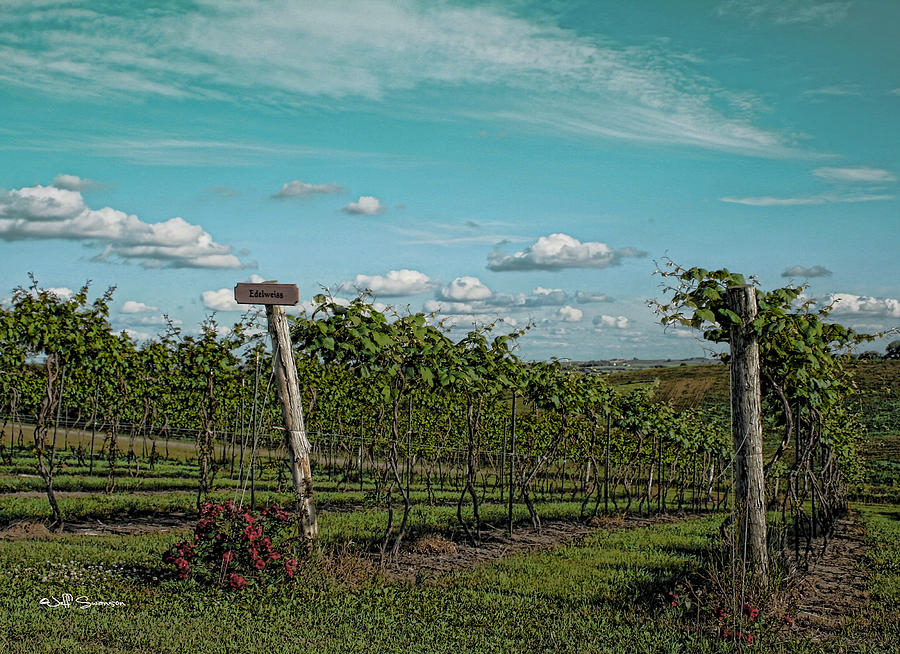 Grape Vines Photograph