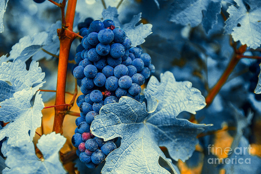 Grapes - Blue  Photograph  - Grapes - Blue  Fine Art Print