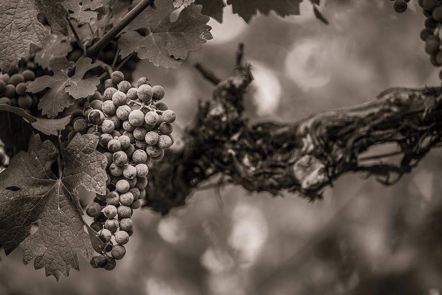Grapes In Grey 1 Photograph