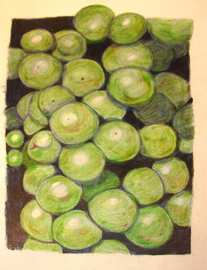 Green Grapes Drawing - Grapes In Progress by Joseph Hawkins