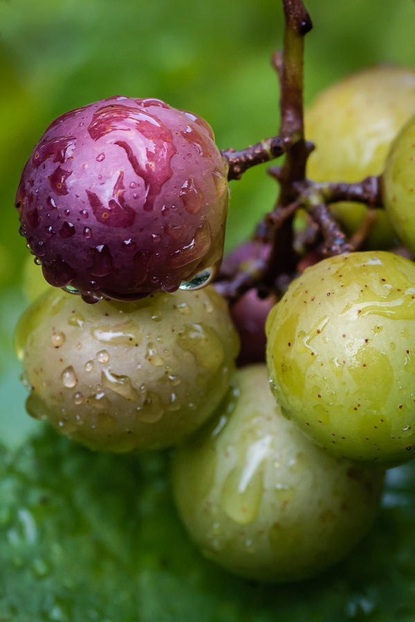 Grapes In The Rain Photograph
