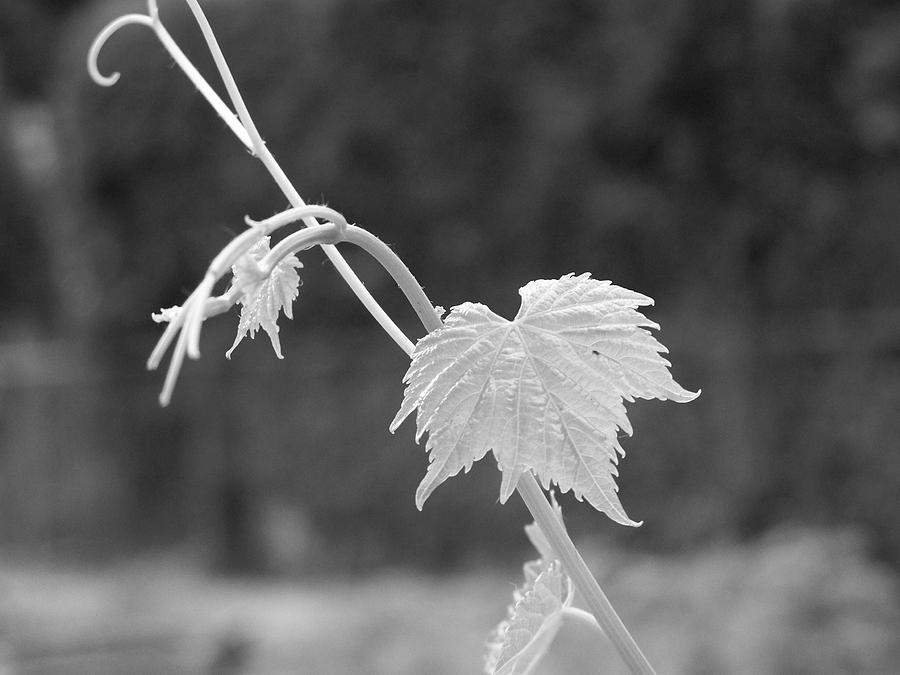 Grapevine Photograph