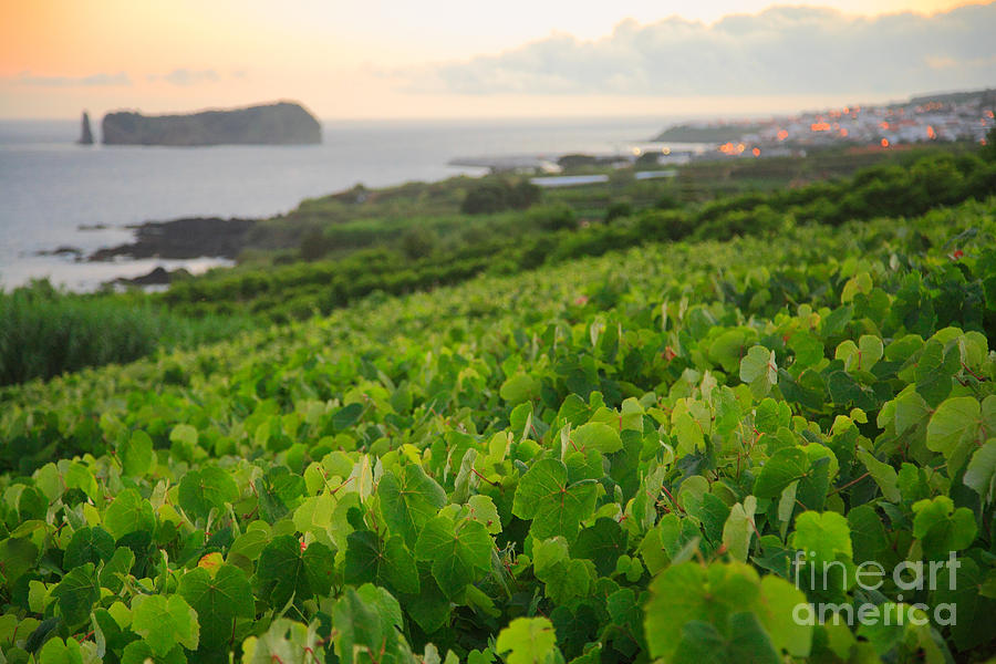 Grapevines And Islet Photograph  - Grapevines And Islet Fine Art Print