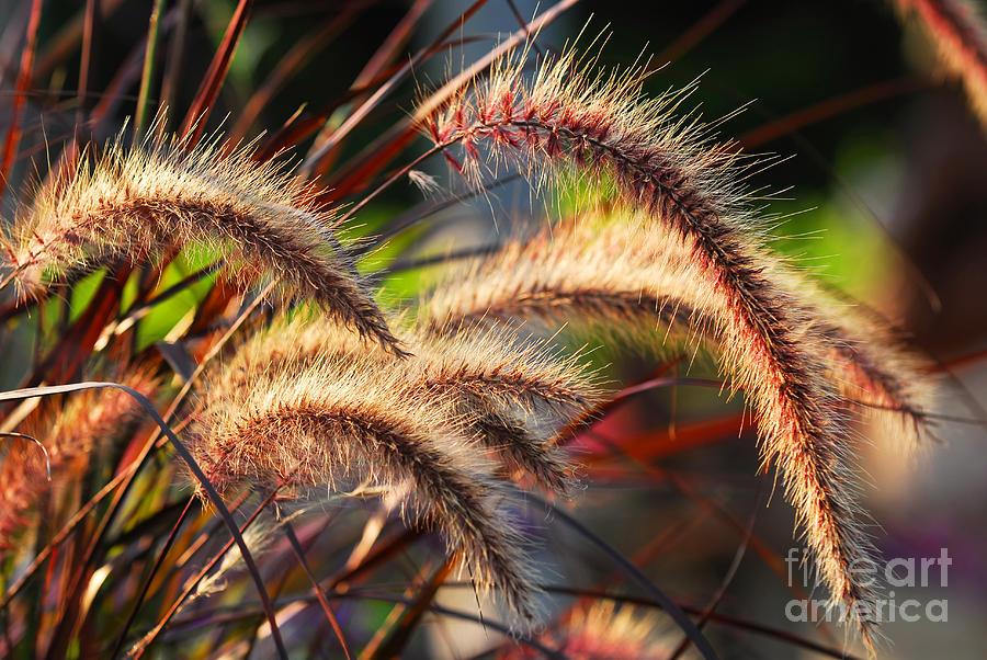 Grass Ears Photograph