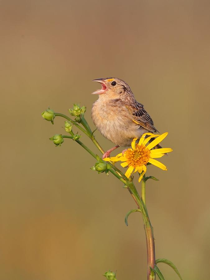 Grasshopper Sparrow Singing Photograph
