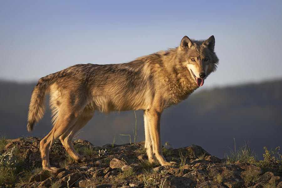 Gray Wolf Side View North America is a photograph by Tim Fitzharris ...