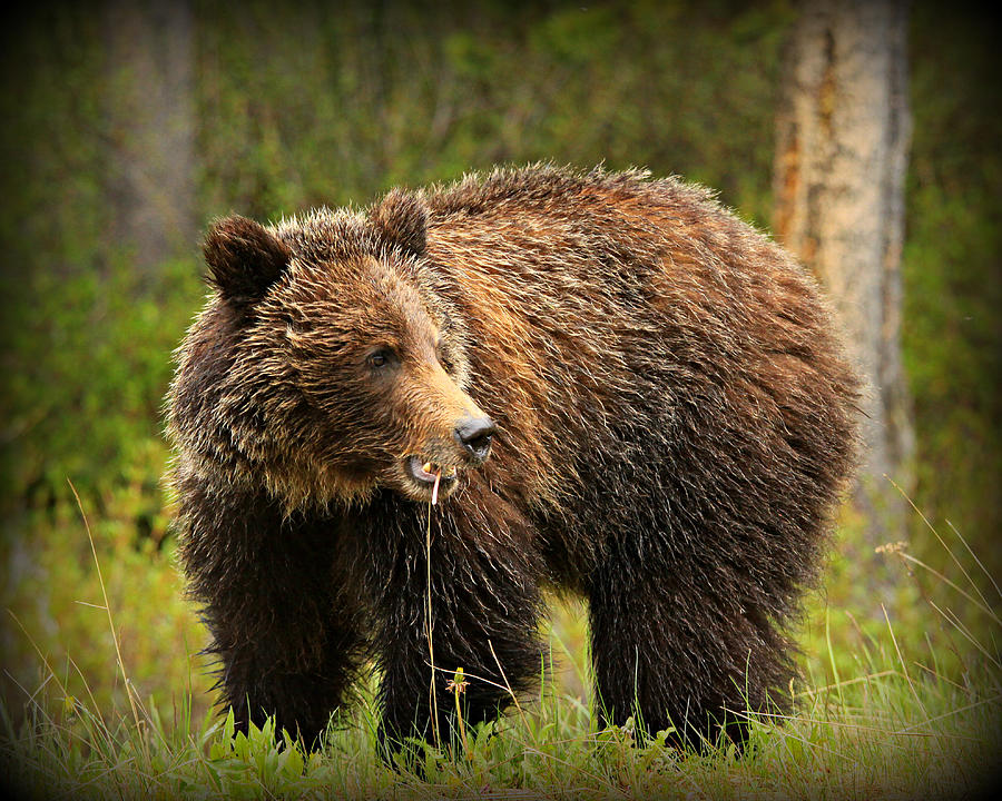 Grazing Grizzly Photograph