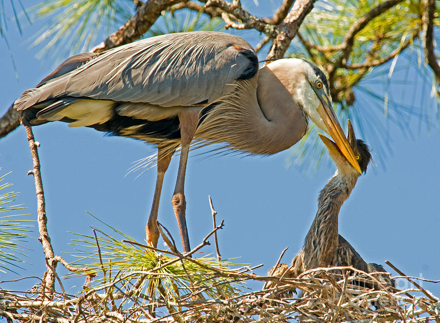 Great Blue Heron Adult Feeding Nestling Photograph