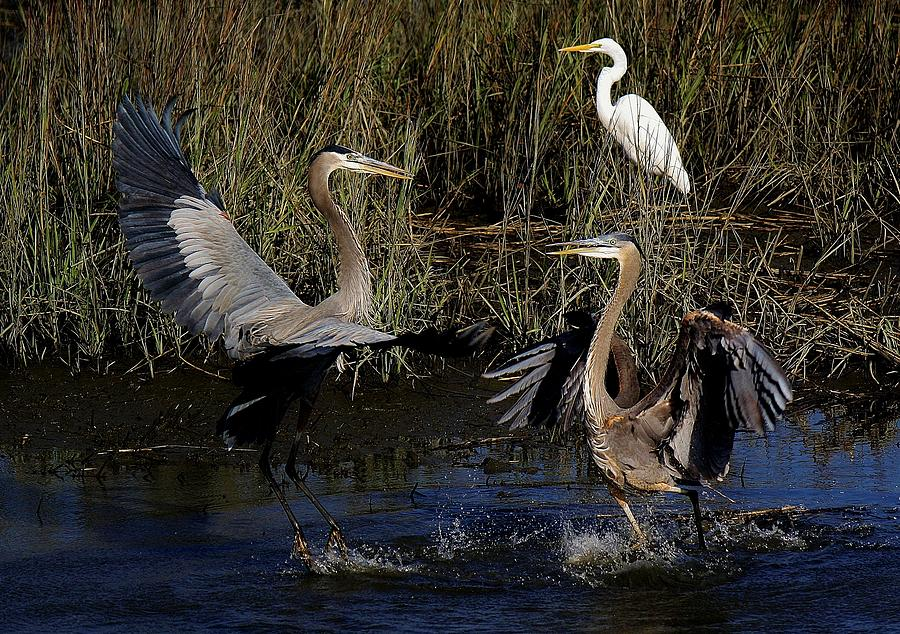 Great Blue Heron Courtship Photograph