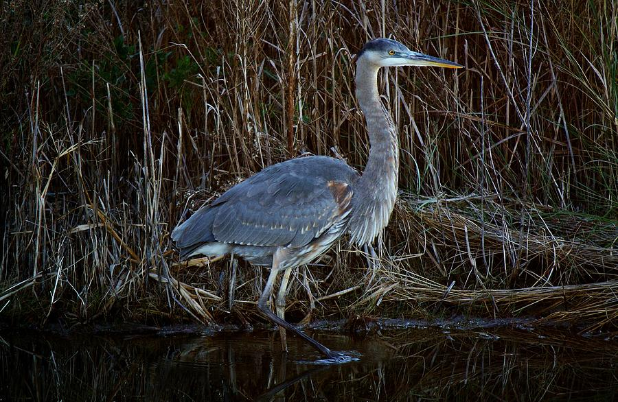 Great Blue Heron In The Marsh - #1 Photograph  - Great Blue Heron In The Marsh - #1 Fine Art Print