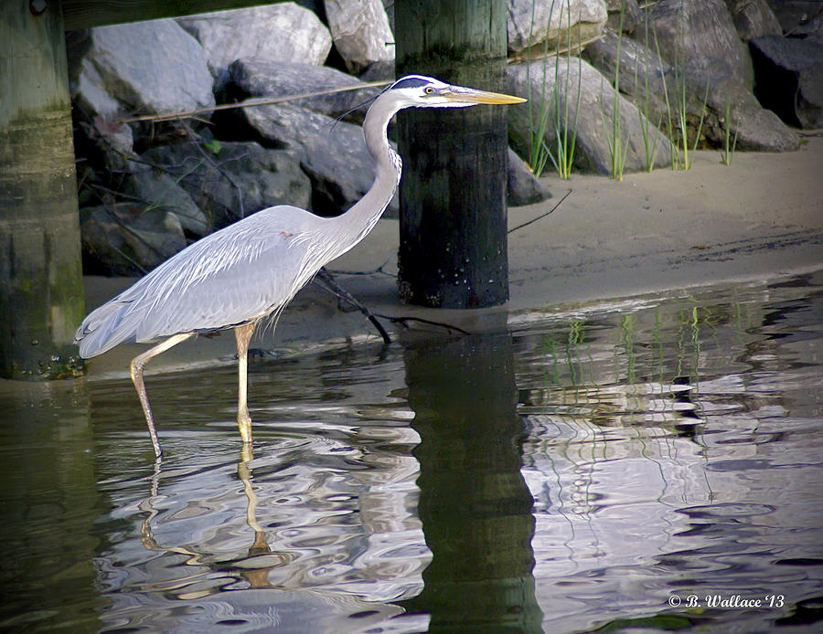 Great Blue Heron - Mealtime Photograph