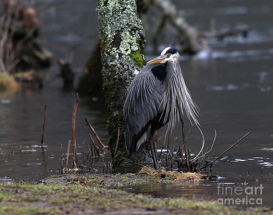 Great Blue Heron On The Clinch River Photograph  - Great Blue Heron On The Clinch River Fine Art Print