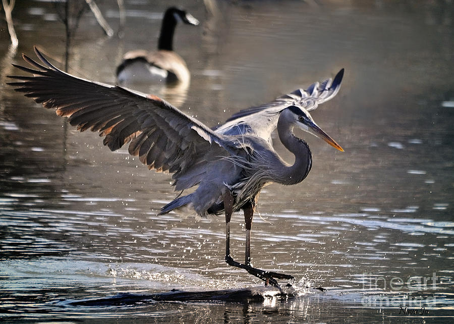 Great Blue Heron Skiing Photograph  - Great Blue Heron Skiing Fine Art Print