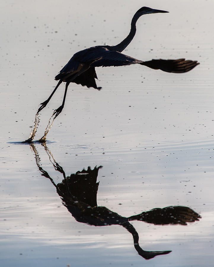 Great Blue Heron Photograph - Great Blue Heron Takeoff by John Daly