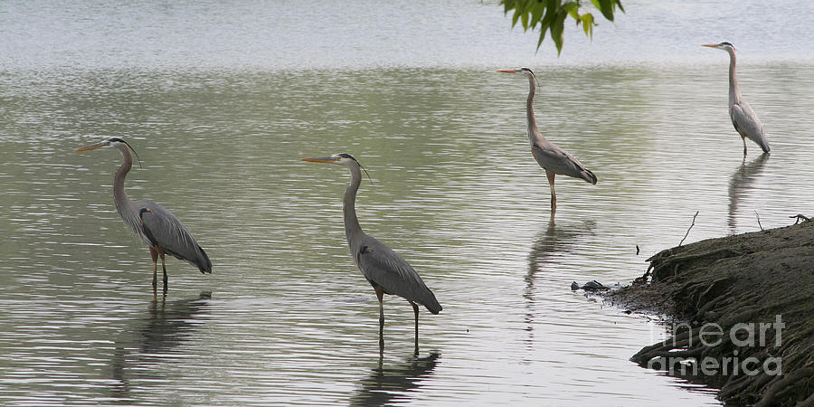 Great Blue Herons Photograph  - Great Blue Herons Fine Art Print