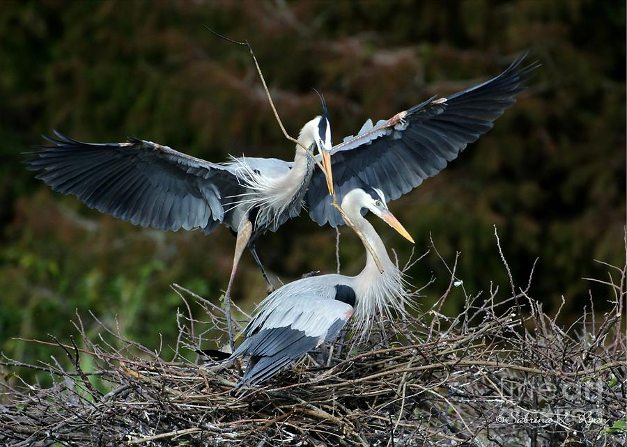 Heron Photograph - Great Blue Herons Nesting by Sabrina L Ryan