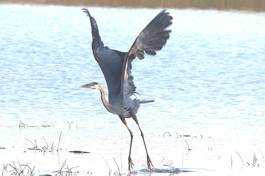 Great Blue Lift Off Series 1 Photograph  - Great Blue Lift Off Series 1 Fine Art Print