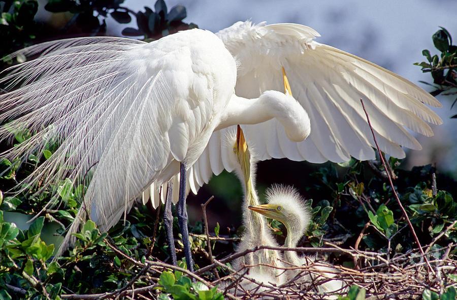 Great Egret Ardea Alba In Nest Photograph