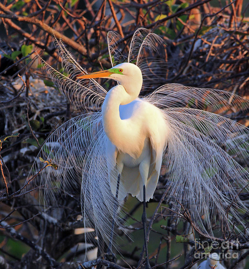 Great Egret Display Photograph