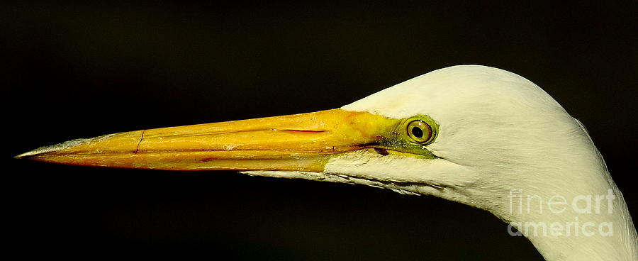 Animal Photograph - Great Egret Head by Robert Frederick