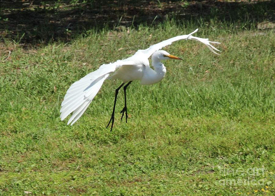 Great Egret Landing Photograph By Theresa Willingham