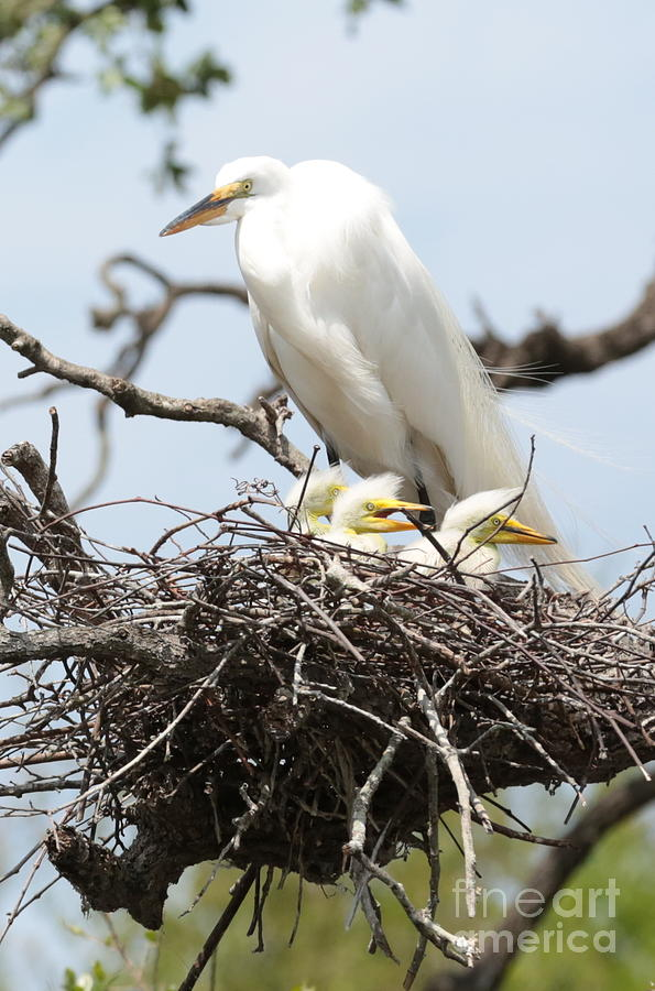 Great Egret Nest With Chicks And Mama Photograph