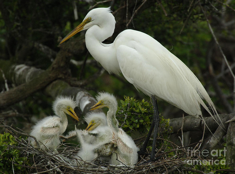 Great Egret With Young Photograph