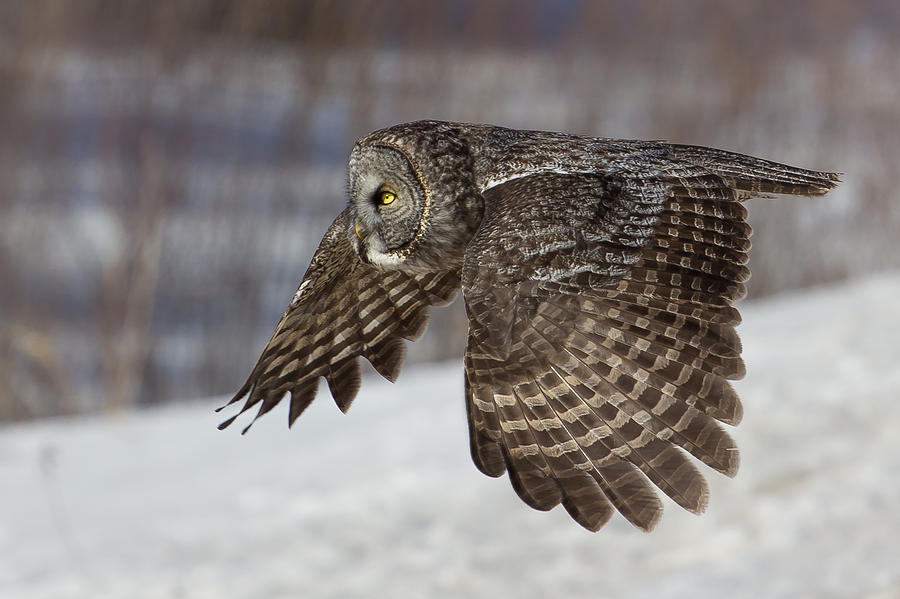 Great Grey Owl In Flight Photograph