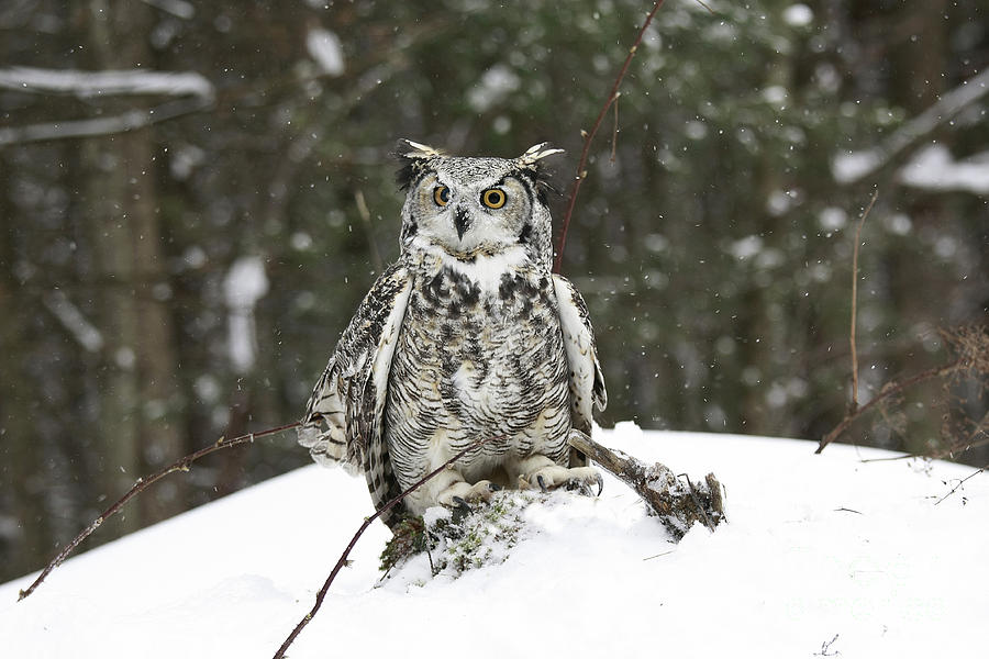 Great Horned Owl In A Winter Snow Storm Photograph  - Great Horned Owl In A Winter Snow Storm Fine Art Print