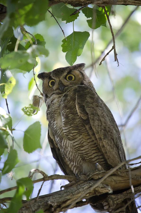 Great Horned Owl On A Branch Photograph By Saija Lehtonen
