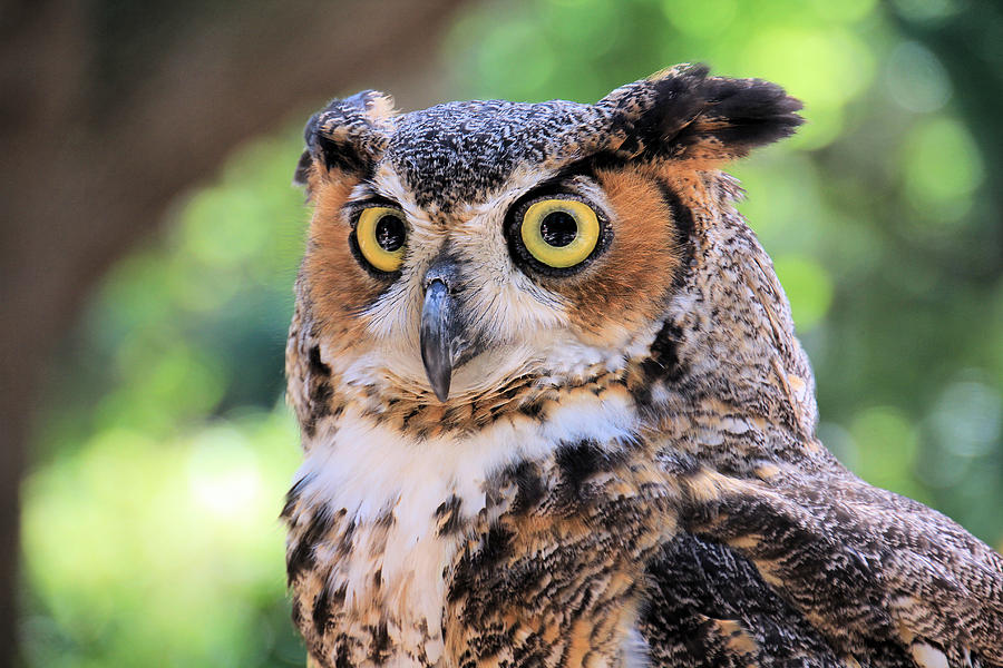 Great Horned Owl Photograph  - Great Horned Owl Fine Art Print