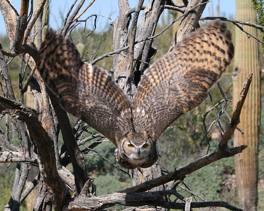 Great horned owl taking off - photo#1